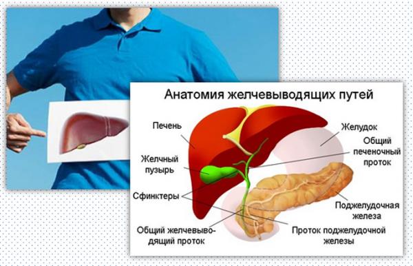 Роль желчного пузыря в организме