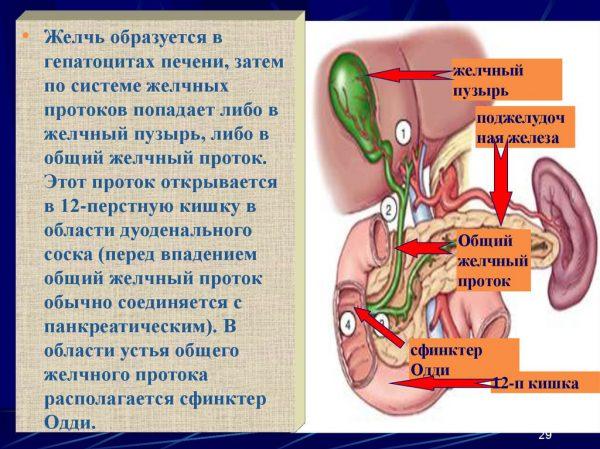 Лечение желчных протоков