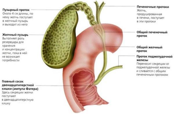 Лечение густой желчи в желчном пузыре