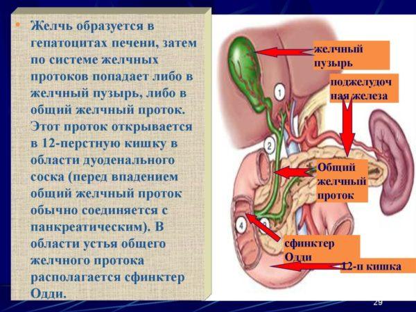 Диета и лечение камней в желчном пузыре